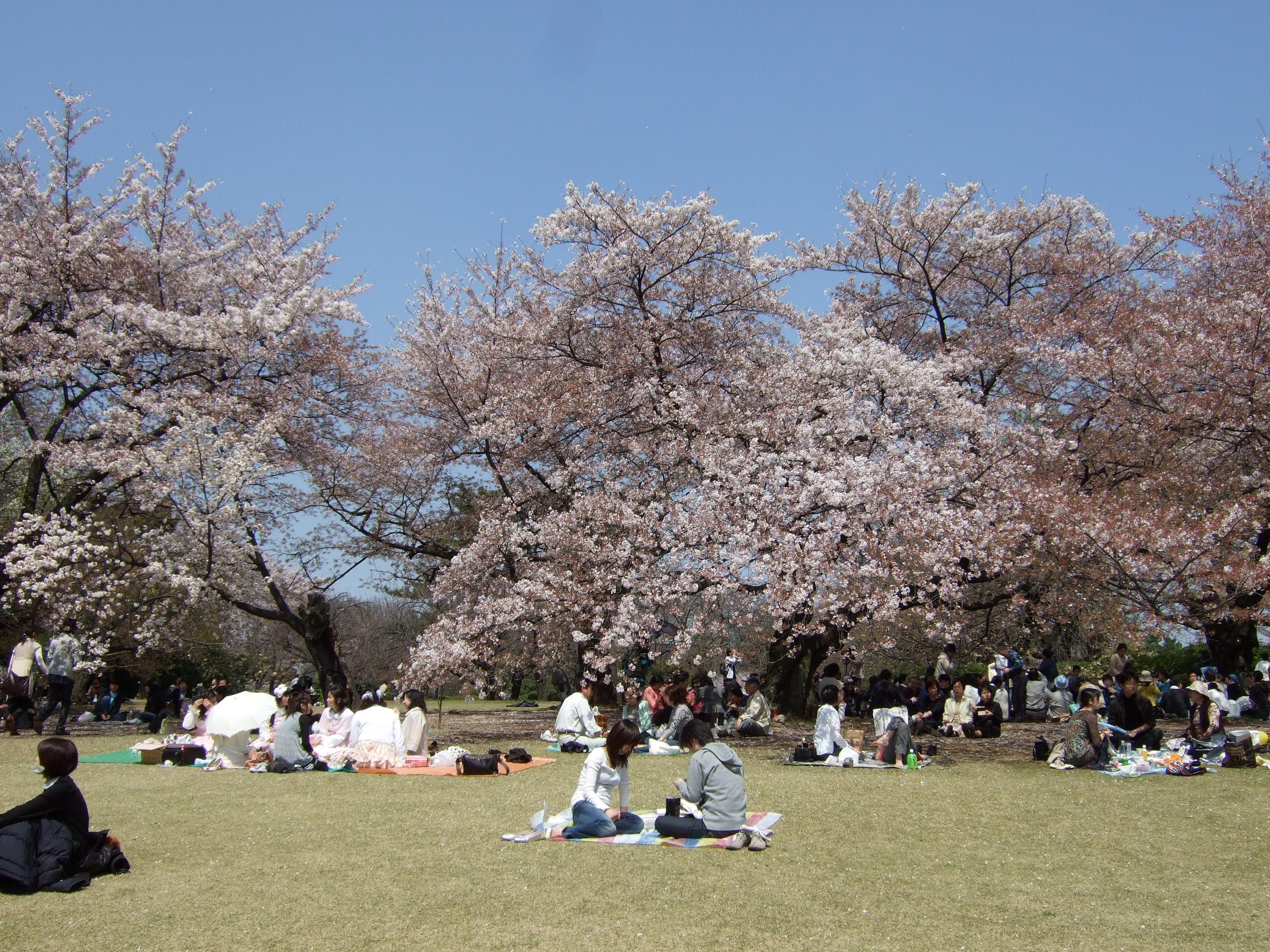 Hanami Pique-nique sous les cerisiers en fleurs