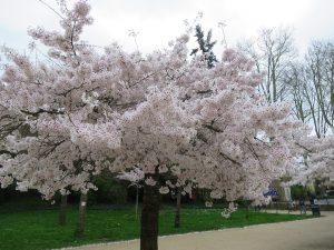 cerisiers Parc etang St Nicolas Angers