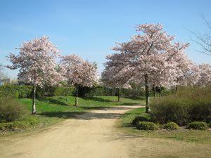 cerisiers en fleurs Parc Balzac Angers